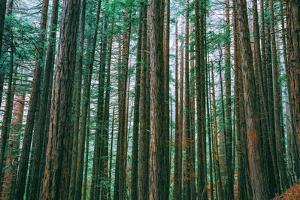 Trees at Muir Woods, Noethern California Coast, Marin County by Vincent James