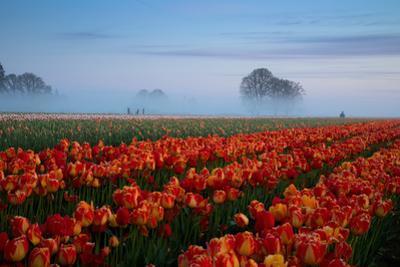 Tulip Field Magic & Mist Spring Bloom Fog Oregon Pacific Northwest by Vincent James