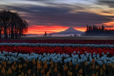 Tulip Morning Magic Spring Mist and Sky Fire Central Oregon by Vincent James
