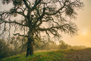 Wild Oak and Muted Sun Mount Diablo Northern California by Vincent James