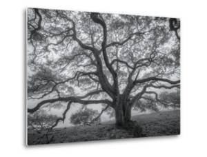 Wild Oak Tree in Black and White, Petaluma, California by Vincent James
