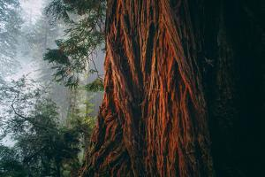 Within The Mighty Redwoods - California Coast Trees by Vincent James