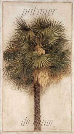 Palmier de Chine