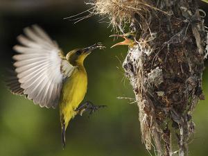 APTOPIX Malaysia Sunbird by Vincent Thian