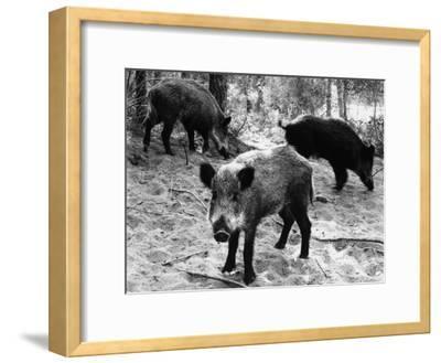 Wild Boar in Bolgheri