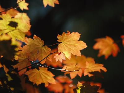 Vine Maple Leaves To Displaying Bright Autumn Colors-Melissa Farlow-Photographic Print