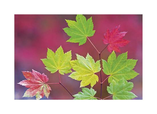 Vine Maple Leaves-Donald Paulson-Giclee Print