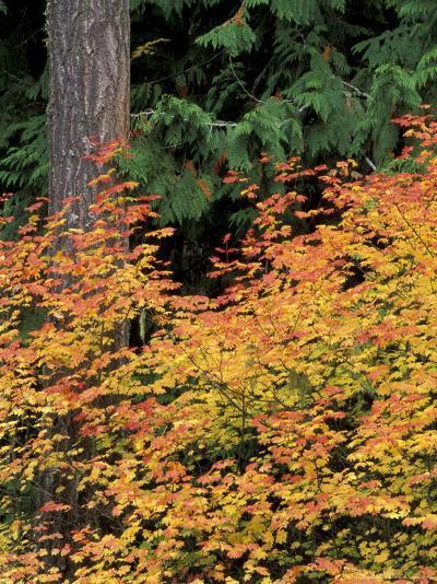 Vine Maple, Mt. Rainier National Park, Washington, USA-William Sutton-Photographic Print