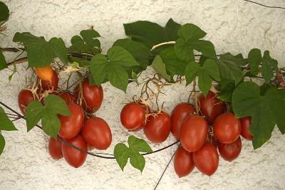 Vine Tomatoes, Mirtos, Crete, Greece, Europe-Christian Heeb-Photographic Print