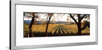 Vines in a Vineyard, Far Niente Winery, Napa Valley, California, USA