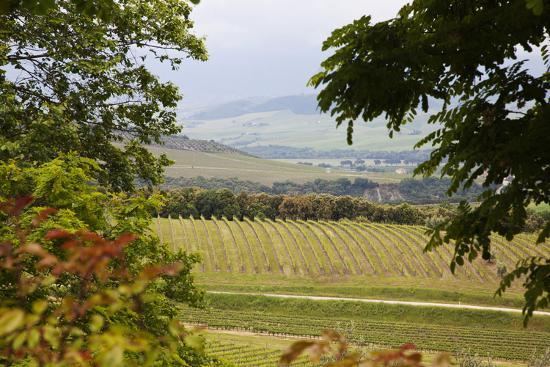 Vineyard and Olive Grove on Rolling Hillside, Tuscany, Italy-Terry Eggers-Photographic Print