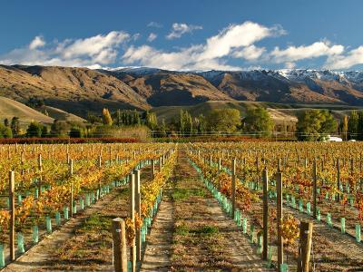 Vineyard and Pisa Range, Central Otago, South Island, New Zealand-David Wall-Photographic Print
