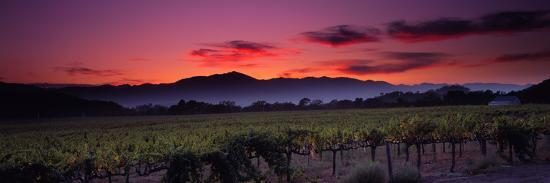 Vineyard at Sunset, Napa Valley, California, USA--Photographic Print
