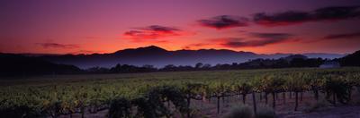Vineyard at Sunset, Napa Valley, California, USA