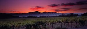 Vineyard at Sunset, Napa Valley, California, USA
