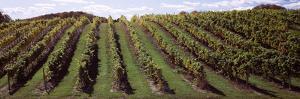 Vineyard, Chateau Chantal Winery, Traverse City, Grand Traverse County, Michigan, USA