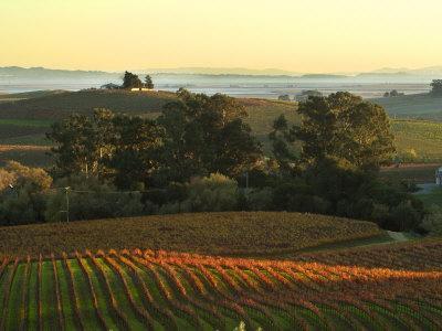 https://imgc.artprintimages.com/img/print/vineyard-from-artesa-winery-los-carneros-napa-valley-california_u-l-p39t3b0.jpg?p=0