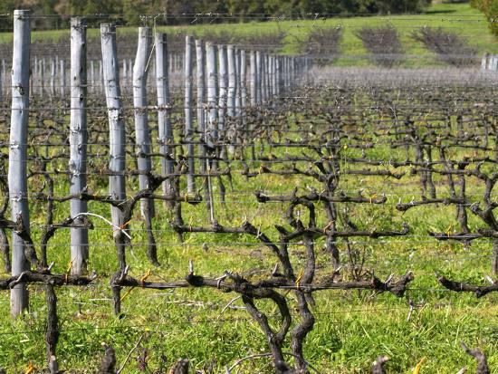 Vineyard in Cordon Royat, Bodega Pisano Winery, Progreso, Uruguay-Per Karlsson-Photographic Print
