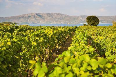 Vineyard, Lumbarda, Korcula Island, Dalmatian Coast, Adriatic, Croatia, Europe-Matthew Williams-Ellis-Photographic Print