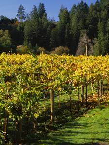 Vineyard, Russian River Valley, Sonoma, California, USA