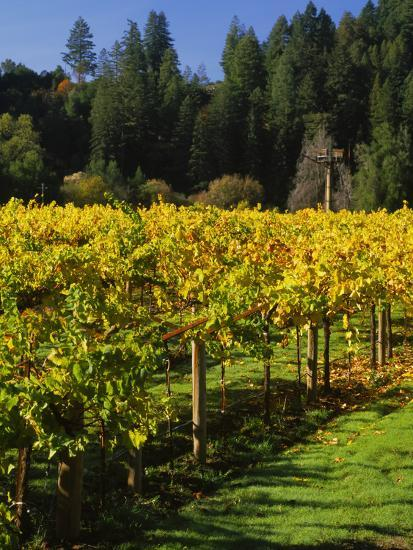 Vineyard, Russian River Valley, Sonoma, California, USA--Photographic Print