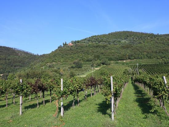 Vineyard, Vincenza, Veneto, Italy, Europe-Vincenzo Lombardo-Photographic Print