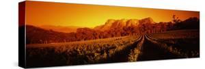 Vineyard with Mountains, Groot Drakenstein, Stellenbosch, Cape Winelands, South Africa