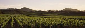 Vineyard with Mountains in the Background, Alexander Valley, Sonoma County, California, USA