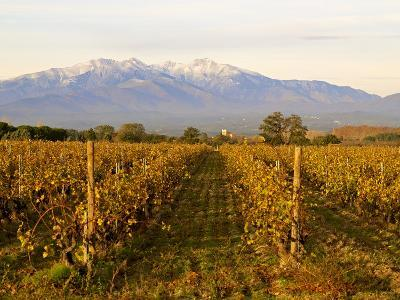 Vineyards and Canigou Mountain, Languedoc Roussillon, France, Europe--Photographic Print