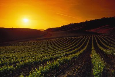 Vineyards at Sunset-Charles O'Rear-Photographic Print