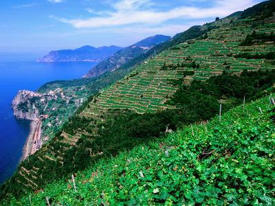 Vineyards from Trail Above Corniglia, Cinque Terre, Liguria, Italy-John Elk III-Photographic Print