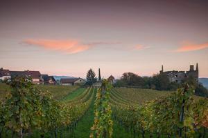 Vineyards in autumn at dusk, Kaiserstuhl, Burkheim, Baden-Wurttemberg, Germany