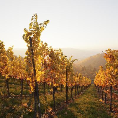 Vineyards in Autumn at Sunset, Stuttgart, Baden-Wurttemberg, Germany, Europe-Markus Lange-Photographic Print
