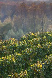 Vineyards in autumn, Kaiserstuhl, Burkheim, Baden-Wurttemberg, Germany