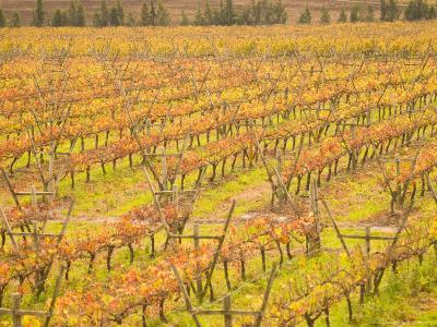 Vineyards in Fall Colors, Juanico Winery, Uruguay-Stuart Westmoreland-Photographic Print