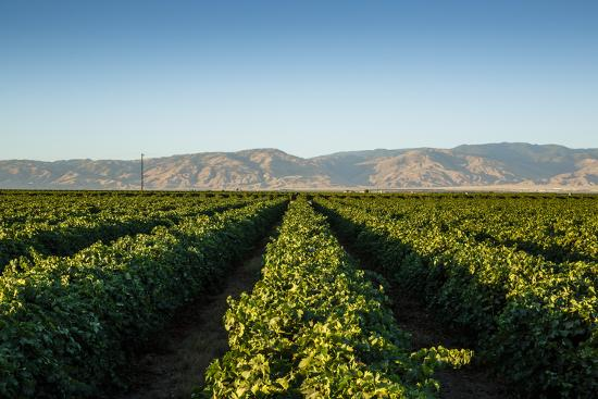 Vineyards in San Joaquin Valley, California, United States of America, North America-Yadid Levy-Photographic Print