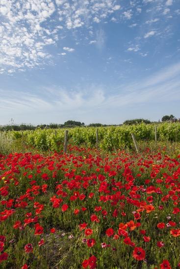 Vineyards near Ettore E Infersa Salt Works Area-Guido Cozzi-Photographic Print