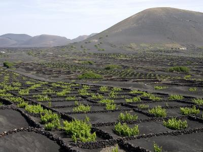 Vineyards of La Geria on Volcanic Ash of 1730S Eruptions, Lanzarote, Canary Islands-Tony Waltham-Photographic Print