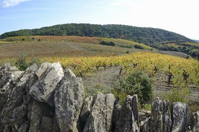 Vineyards with Fall Foliage, AOC Faugeres-Sami Sarkis-Photographic Print