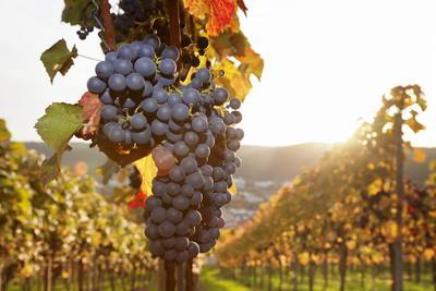 https://imgc.artprintimages.com/img/print/vineyards-with-red-wine-grapes-in-autumn-at-sunset-esslingen-baden-wurttemberg-germany-europe_u-l-pq8iaz0.jpg?p=0