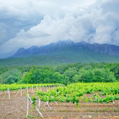 Vineyards-tycoon101-Photographic Print