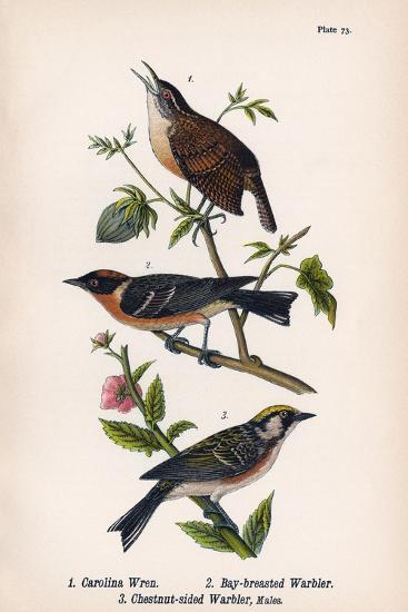 Vintage Birds: Wrens and Warblers, Plate 73-Piddix-Art Print