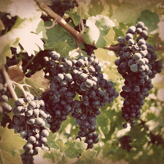 Vintage Grape Vines I Photographic Print by Jason Johnson | Art.com