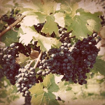 https://imgc.artprintimages.com/img/print/vintage-grape-vines-ii_u-l-q1bh6k40.jpg?p=0