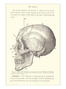 Vintage Illustration of the Skull