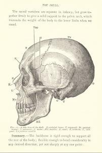 Vintage Illustration of the Skull
