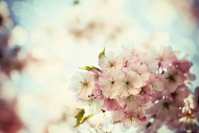 Vintage Photo of White Cherry Tree Flowers in Spring-Petr Jilek-Photographic Print