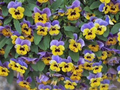 Viola Flowers-Robert Harding-Photographic Print