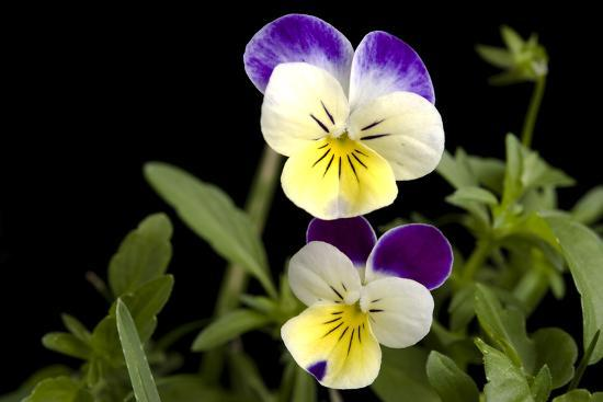 Viola or Sweet Violet Flowers, Viola Odorata-Joel Sartore-Photographic Print