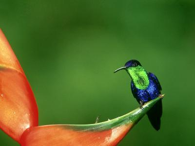 Violet-Crowned Woodnymph, Costa Rica-G^ W^ Willis-Photographic Print